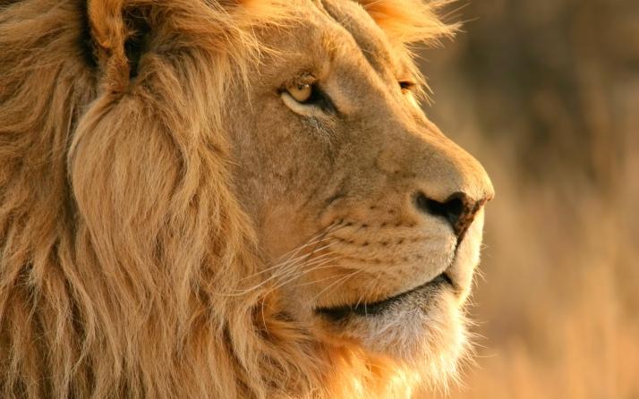 lion-wide