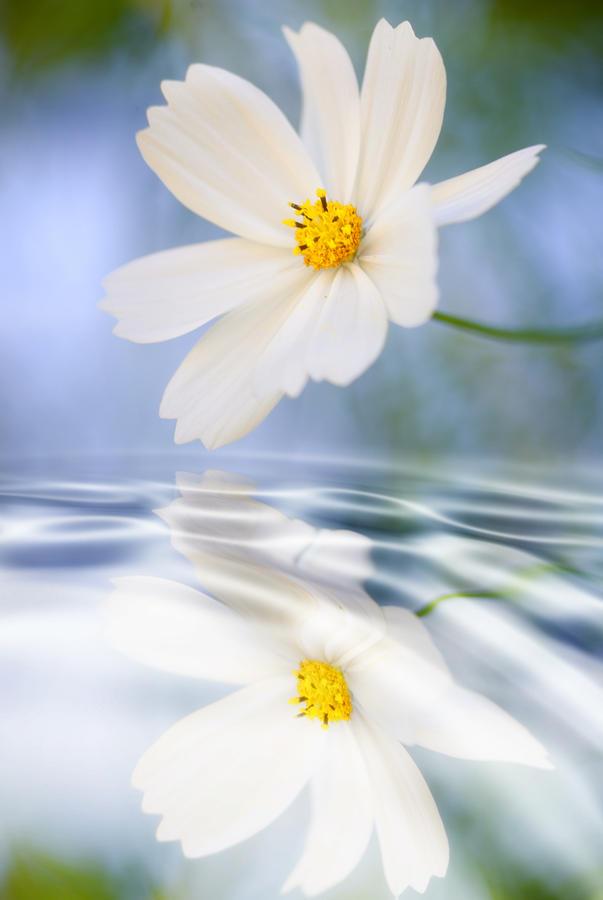 cosmea-flower