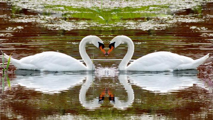 swans-love