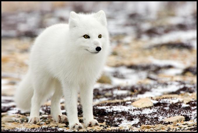 arkticka-liska